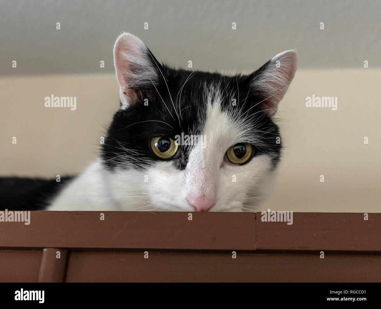 black & white cat face - Stock Image