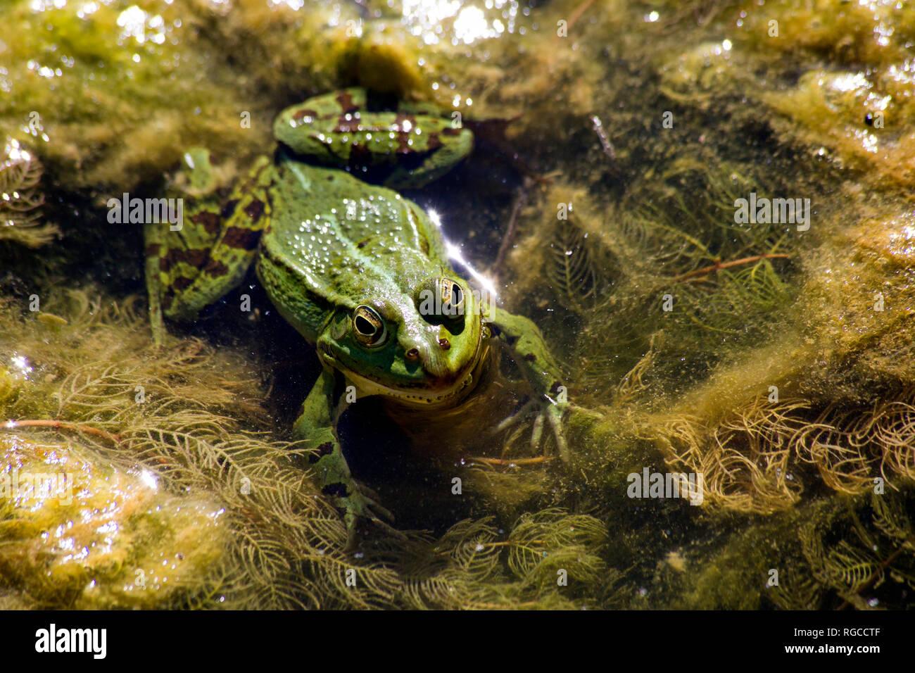 Pool frog, Rana esculenta - Stock Image
