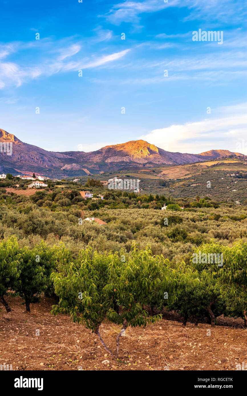 Spain, Mondron, view to olive grove with peach trees in the foreground - Stock Image
