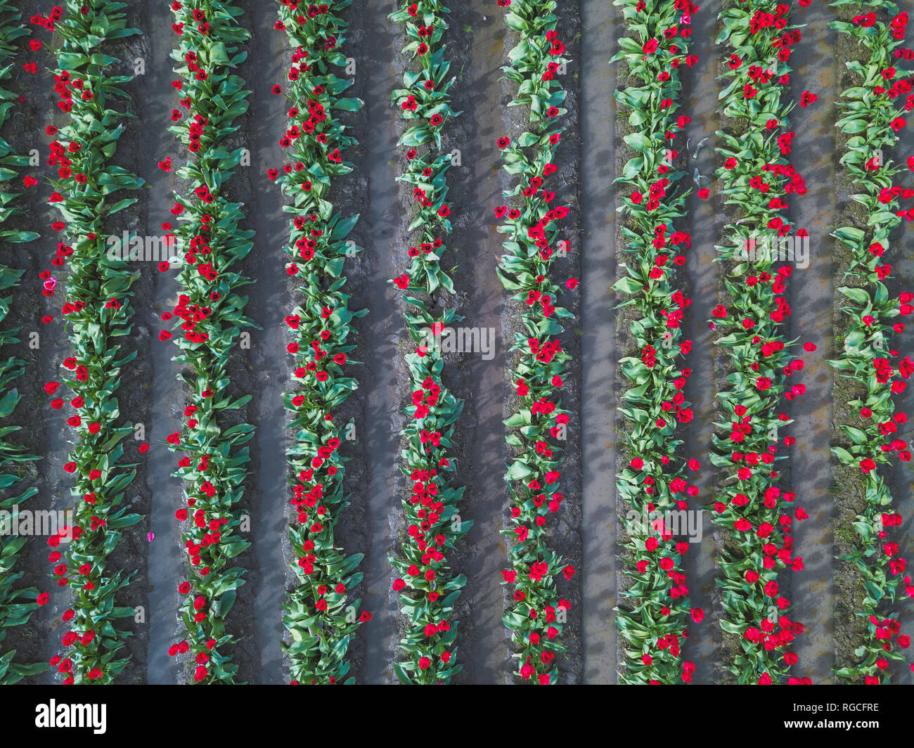 USA, Washington State, Skagit Valley, tulip field from above Stock Photo
