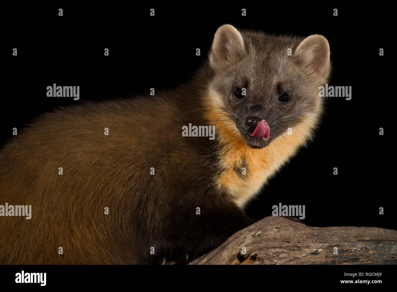 Portrait of licking pine marten - Stock Image