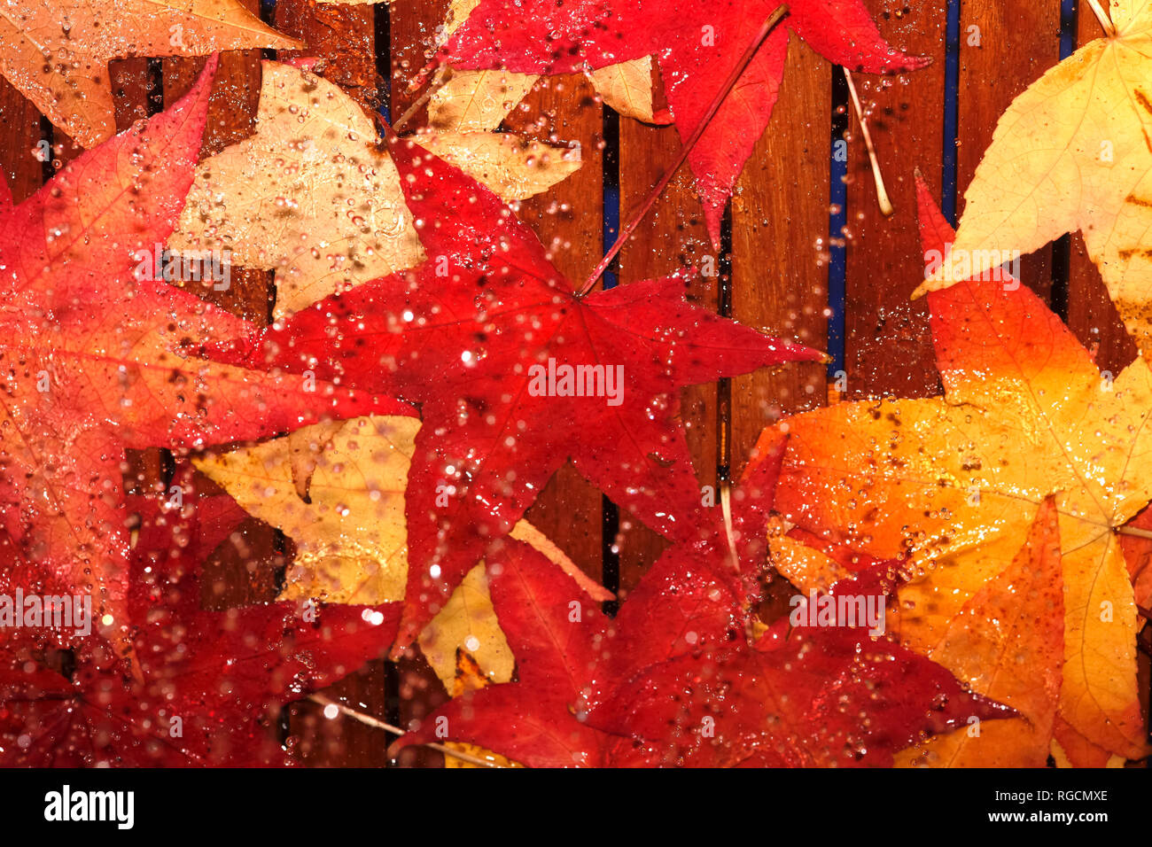 Wet autumn leaves of red gum - Stock Image
