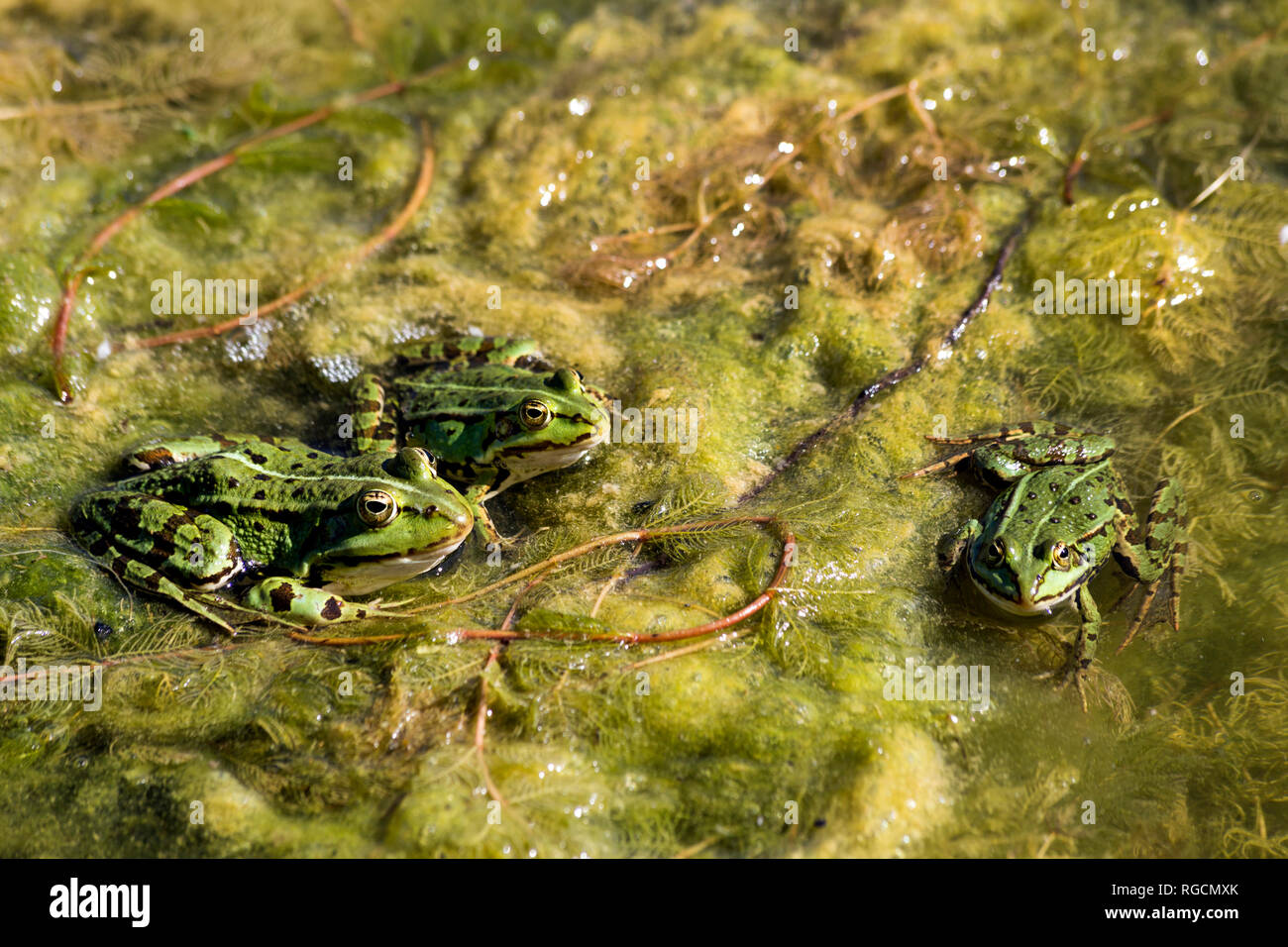 Pool frogs, Rana esculenta - Stock Image