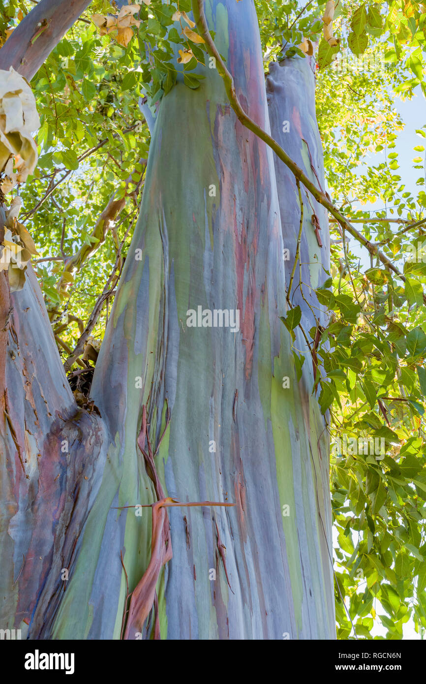 Beautiful trunk of rainbow gum at Los Angeles, California - Stock Image