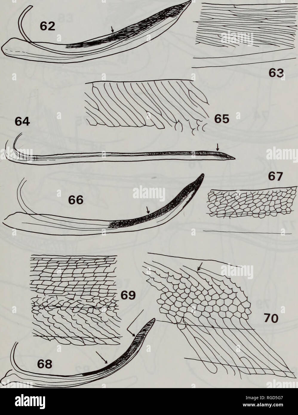 f83c1907c19 Bulletin of the Natural History Museum Entomology. CLASSIFICATION OF  SELENOCEPHALINE LEAFHOPPERS 35. Figs .