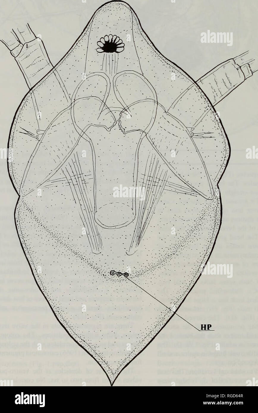 . Bulletin of the Natural History Museum Zoology. M.J. ORLOVA-BIENKOWSKAJA SYSTEMATIC ACCOUNTS Subgenus Simocephalus s. str. TYPE SPECIES. Simocephalus vetulus (O.F. Miiller, 1776) Diagnosis. Both sexes. Frons rounded, without denticles (Fig. 18). Head shield without depression. Head pores present (Fig. 5). Inser- tion of antennules at base of rostrum. Antennule short in correspondence with short rostrum, with neither ridges nor denticles on inner side (Fig. 6B,C). Aesthetes longer than base of antennule. Postabdominal claws without spines (Fig. 12D,E). Inner and outer side of claw with fine s - Stock Image