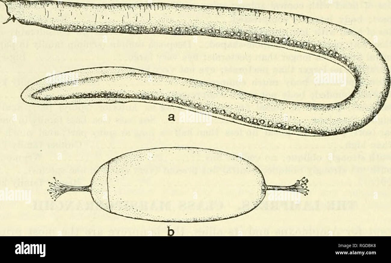 Lamprey Eel Mouth Stock Photos Lamprey Eel Mouth Stock Images Alamy