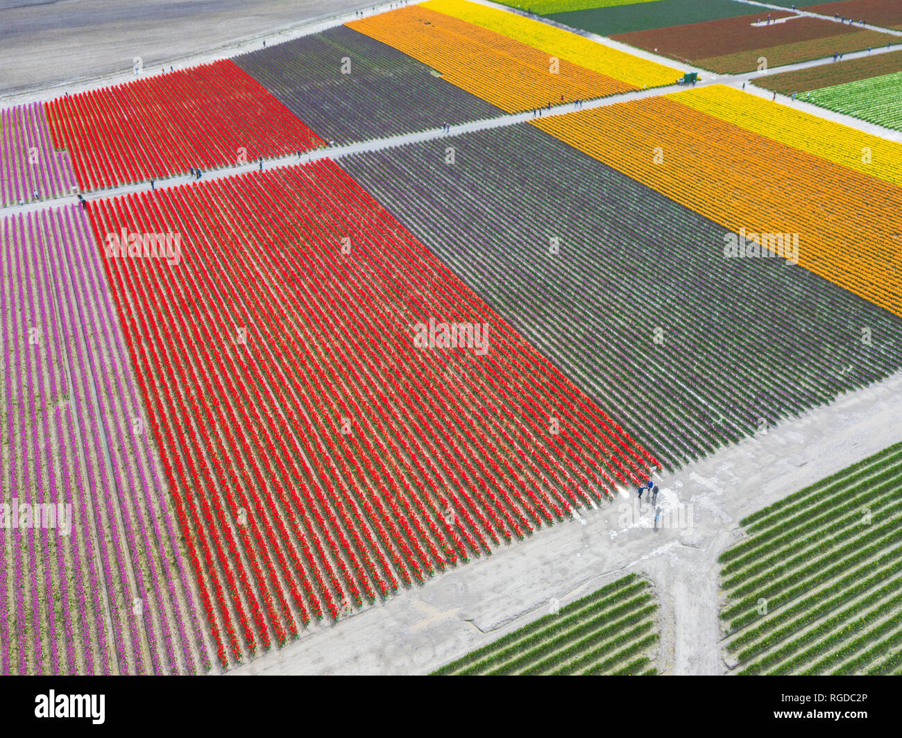 USA, Washington State, Skagit Valley, Aerial view of tulip fields - Stock Image