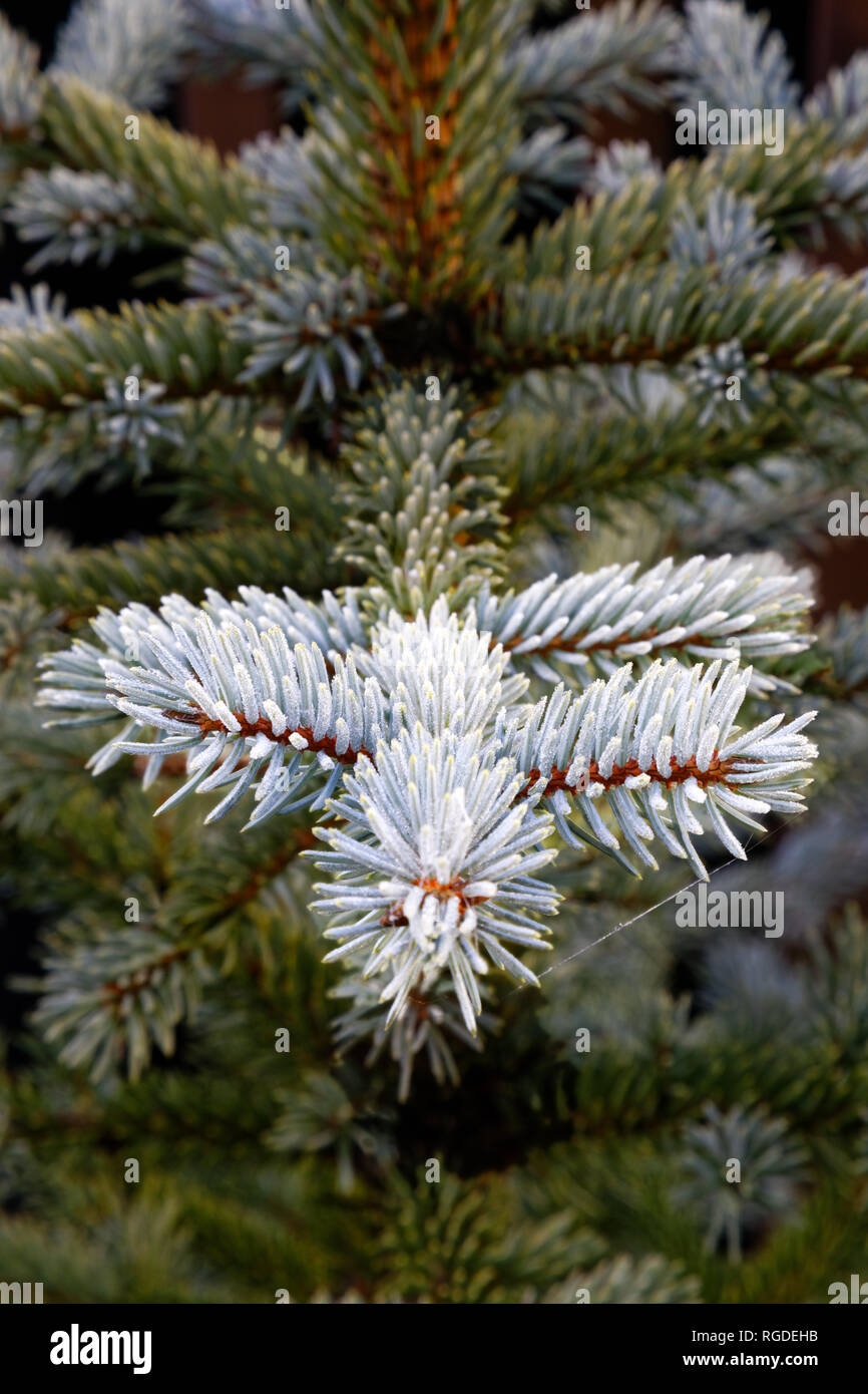 43,467.03854 Frosty, lightly frosted, green needles & branches on winter spruce tree (Picea species, Pinaceae), dark green background, vertical - Stock Image