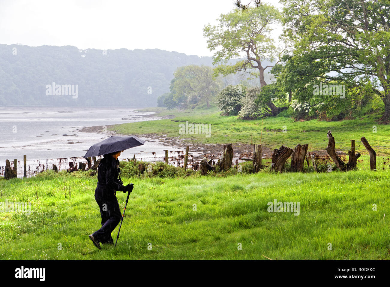 42,517.02917 Woman holding an umbrella while hiking in the rain in a hazy wet green pasture by trees fence stumps and water shore of an estuary lake - Stock Image