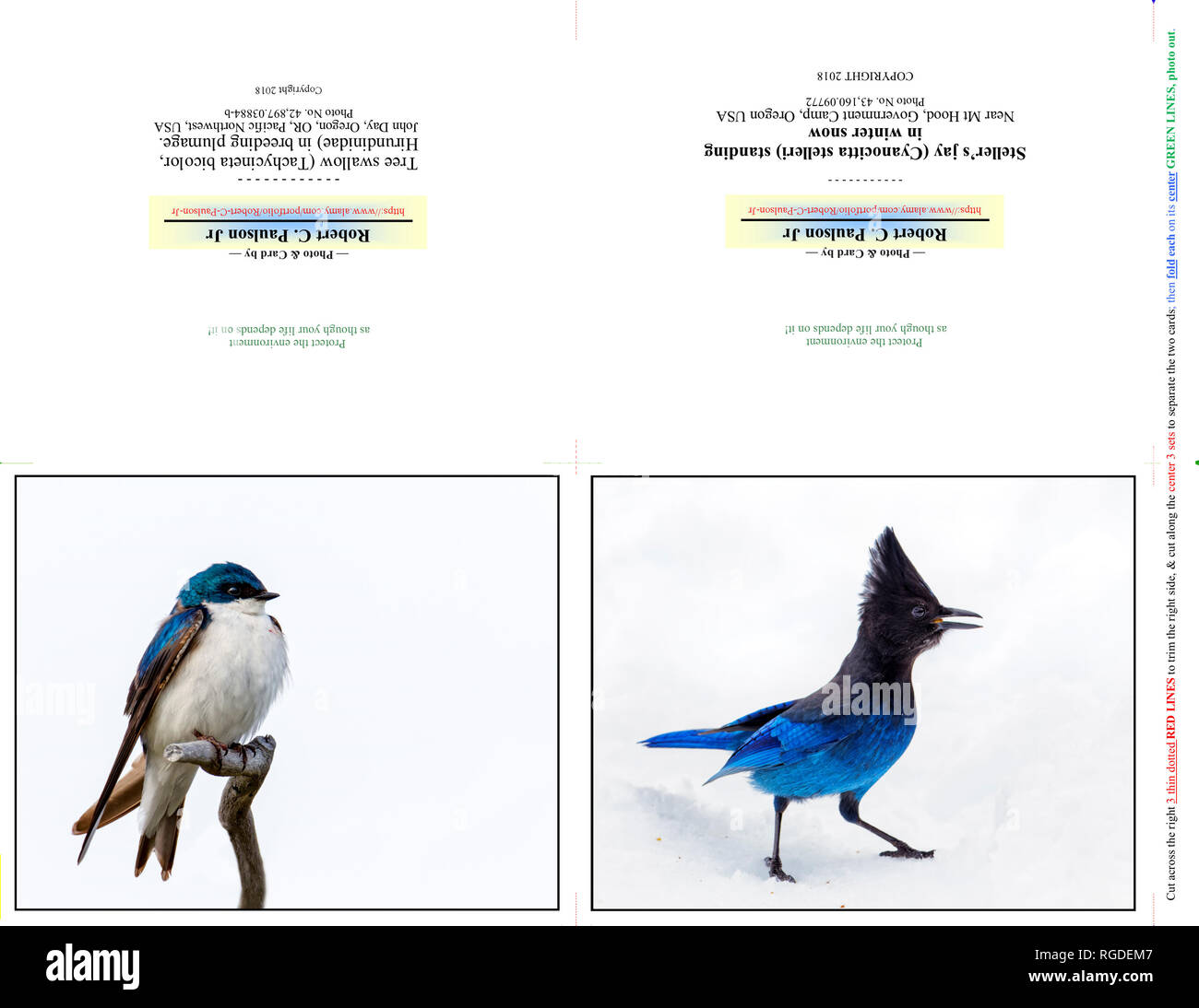 42,897.03884-b & 43,160.09772 photography Photo Note Cards, TWO 5x4 horizontal on 11x8.5 paper (print cut fold), birds Tree swallow & Steller's jay - Stock Image