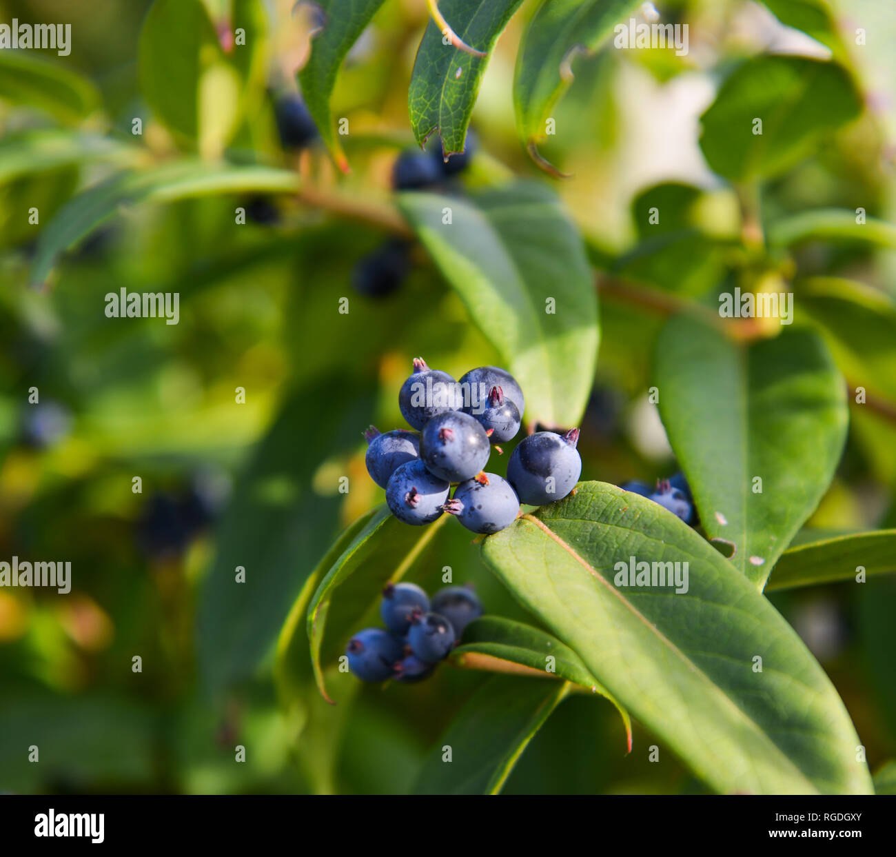 Purple Berries On The Tree At Autumn In City Park Stock Photo