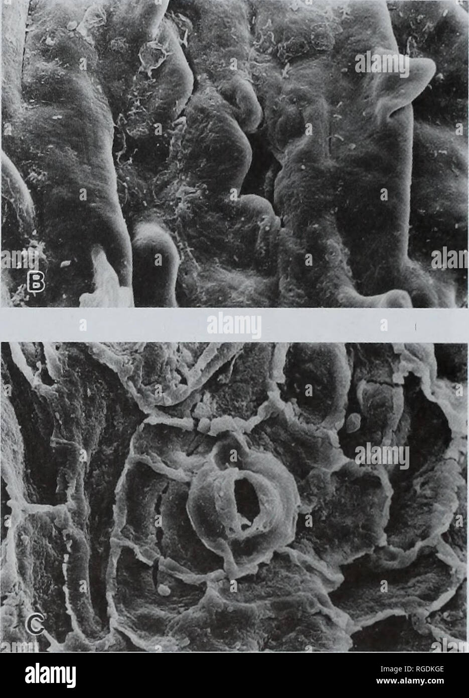 . Bulletin of the Natural Histort Museum. Geology series. Fig. 17 A-B Ginkgoires garlickianiis sp. nov. A, distribution and orientation of stomata on lower surface; B, distribution and orientation of stomata on upper surface; both from holotype, V.64548, x 50. Bay. However, the stomata of C. anguae are strictly longitudinally orientated on both surfaces, are arranged in files rather than scat- tered, are never papillate and have 2 distinct polar subsidiary cells. Amongst Lower Cretaceous floras from elsewhere the two species Ginkgoites brauniana (Dunker) from the Lower Cretaceous of Ger- many  - Stock Image