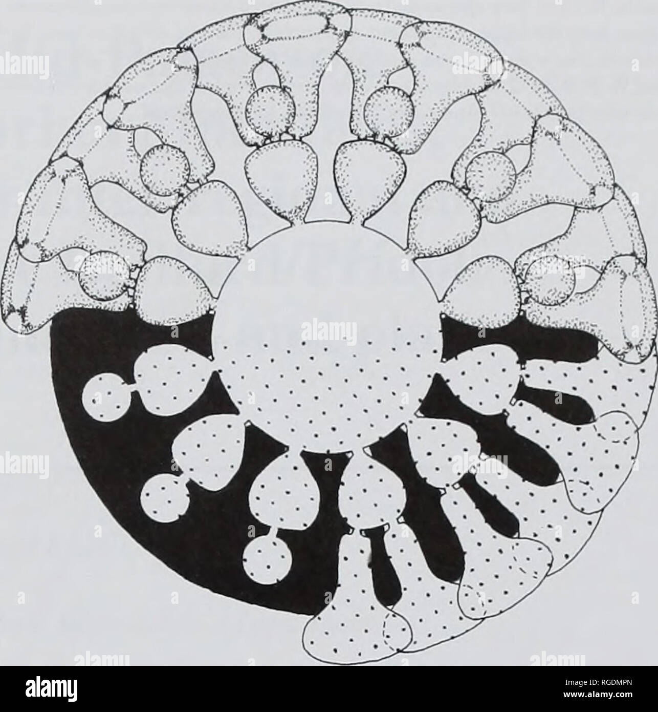 . Bulletin of the Natural Histort Museum. Geology series. SYSTEMATIC AFFINITY OF ACROPORELLA ASSURBANIPALI 113 the variability oftlie species and some qualitative characters such as the shape of thallus, laterals and reproductive organs would have required more abundant material. The thallus is apparently cylindrical and simple. Primary laterals are arranged in moderately close whorls. Their position between whorls, alternated or in continuity, is not evident. However they are phloiophorous and rather strong, almost perpendicular to the stem axis. The transverse section of the primary pores is Stock Photo