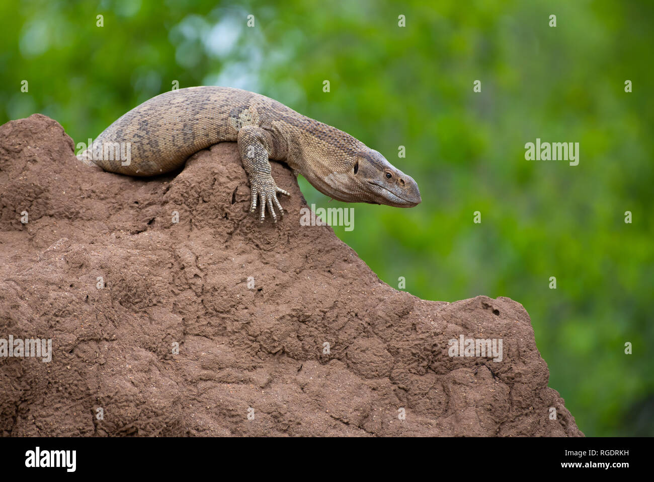 A monitor lizard makes itself comfortable on an ant heap in Kruger National Park, South Africa. - Stock Image