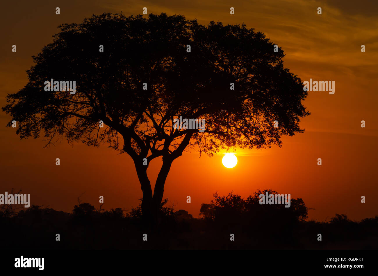 The sun sets majestically behind a tree in the Kruger National Park, South Africa. - Stock Image