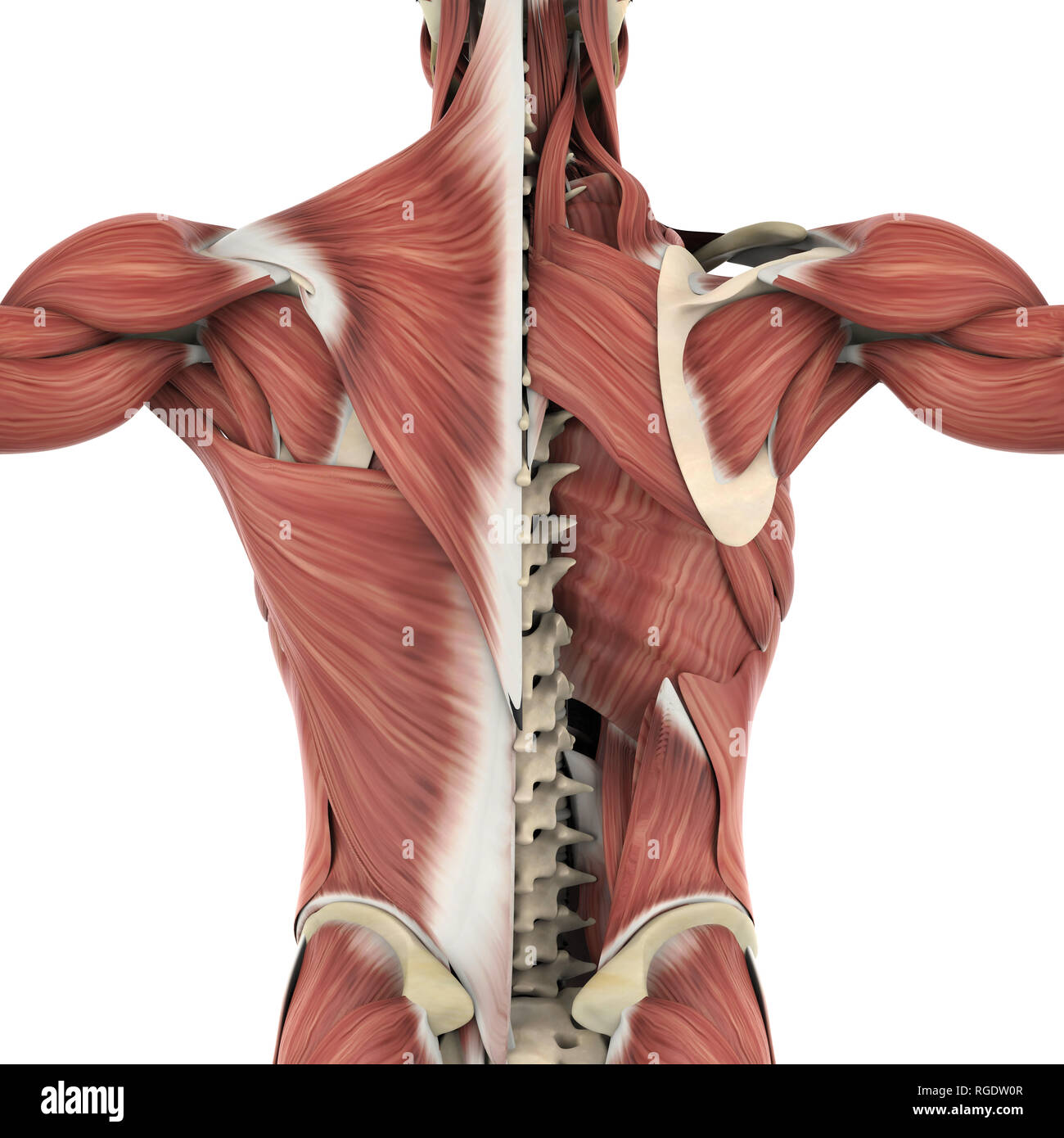 Back Muscles Anatomy Stock Photos Back Muscles Anatomy Stock