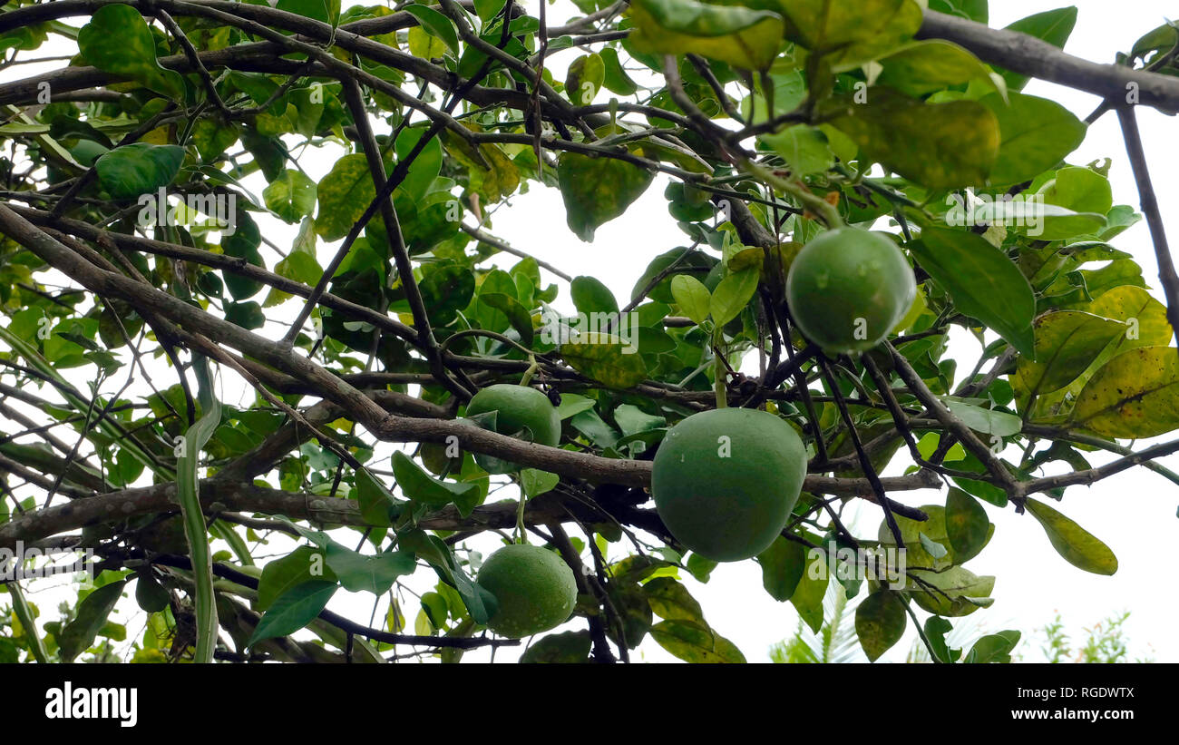 Fruit tree with many green pomelo growing on the branches. - Stock Image