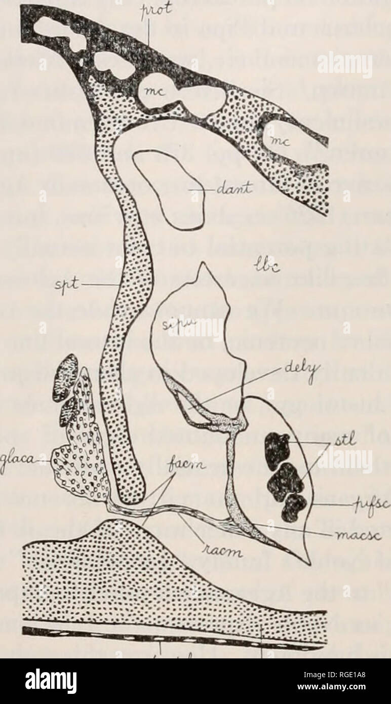 . Bulletin of the Museum of Comparative Zoology at Harvard College. Zoology. 28 bulletin: museum of comparative zoology element of the nerve leaving by the foramen acustieum anterius is the ramus acusticiis anterior, and it innervates the small crista of the an- terior ampulla (not drawn), and in Fig. 7D may be seen to innervate the large macula acustica on the floor of the recessus utriculi; it also gives off a lateral branch to supply the ampulla of the ductus horizon- talis. The ganglion acustieum anterius is not yet seen in Fig. 7D, but. Fig. 10. Transverse section through the labyrinthine - Stock Image