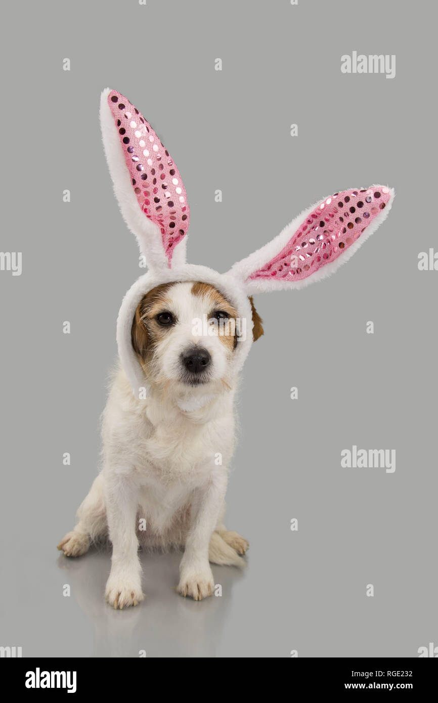 Jack Russell Terrier Bunny Stock Photos   Jack Russell Terrier Bunny ... 6fbacab1ba9