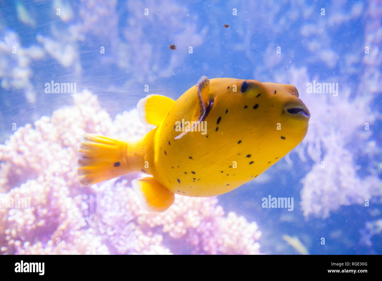 Yellow Blackspotted Puffer Or Dog-faced Puffer Fish - Arothron Nigropunctatus. Wonderful and beautiful underwater world with corals and tropical fish. Stock Photo