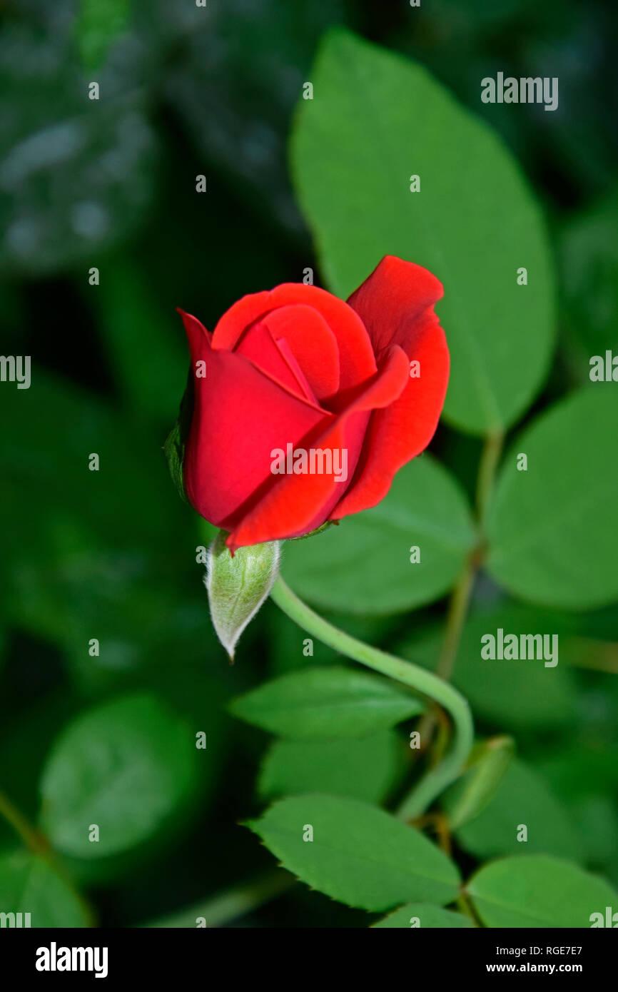 Closeup view on a single velvety red rose bud on green and blurred background - Stock Image