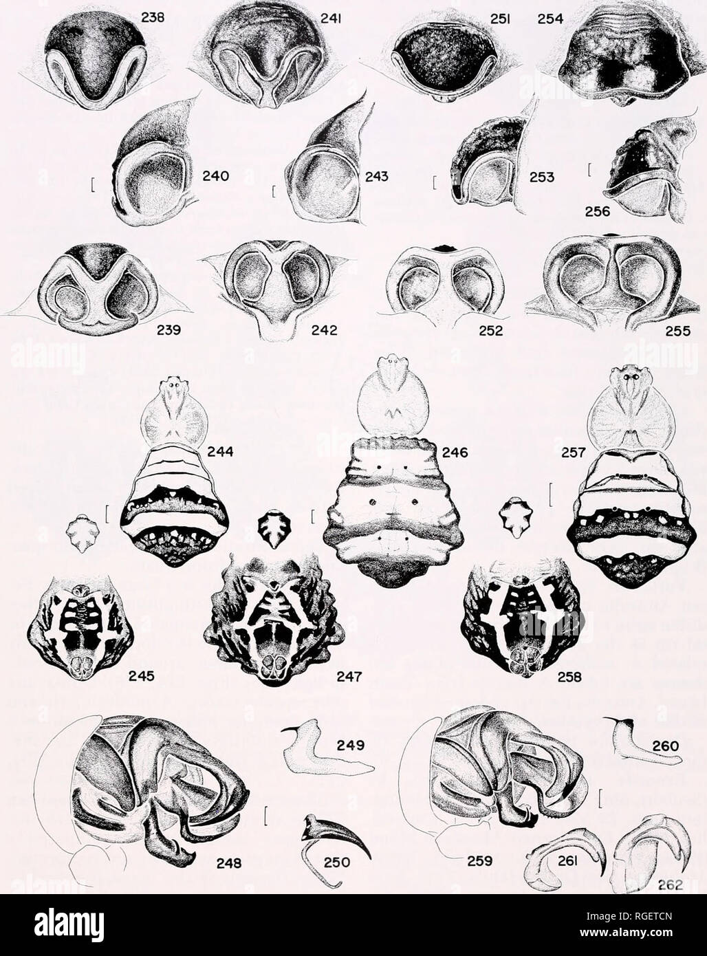 """. Bulletin of the Museum of Comparative Zoology at Harvard College. Zoology. Western Pacific Argiopinae • Levi 307. terior. 253, 256. Epigynum, lateral. 251-253. (Salangor, Malaysia). 254-256. (Siberut, Sumatra). 257. Carapace and abdomen. 258. Sternum and abdomen. 259. Left male palpus, mesal. 260. Median apophysis from """"below."""" 261, 262. Broken left embolus tip from an epigynum (at different angles). Scale lines. 0.1 mm, except Figures 244-247, 257, 258, 1.0 mm.. Please note that these images are extracted from scanned page images that may have been digitally enhanced for readabili - Stock Image"""