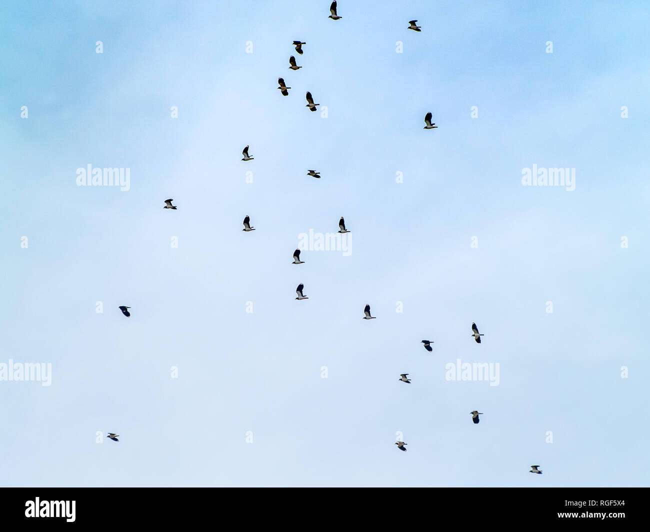 A flock of northern lapwing (Vanellus vanellus) flying in the cloudy sky - Stock Image