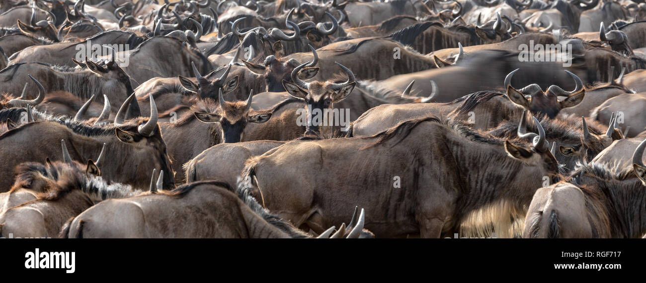 Crowded white-bearded wildebeest in the Masai Mara for the annual great migration. Every year 1.5 million wildebeest make the journey between Tanzania Stock Photo