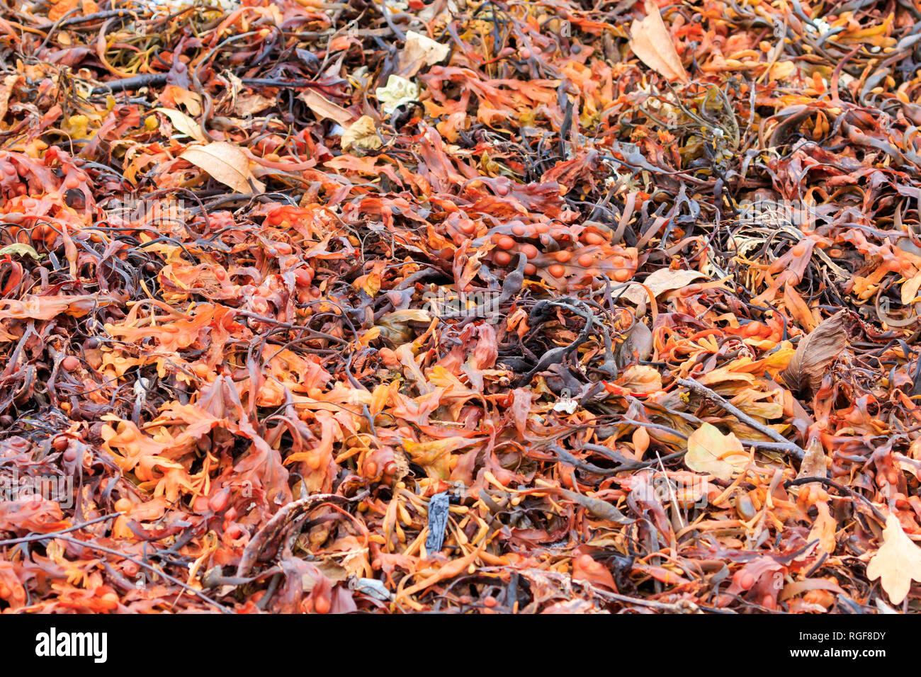 Close up orange coloured seaweed - Stock Image
