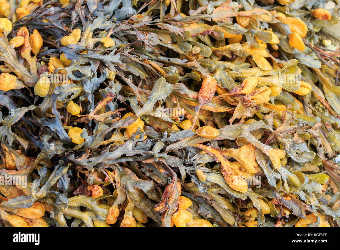 Close up yellow coloured seaweed - Stock Image