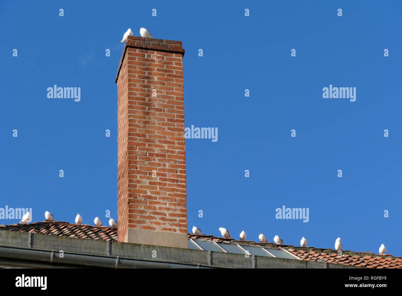 Roof, brick chimney, standing seagulls - Stock Image
