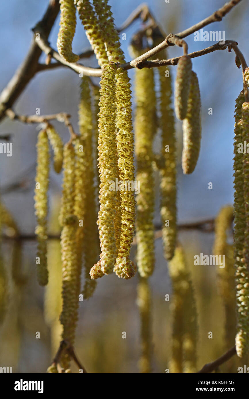 male catkins on a common hazel tree Latin corylus avellana from the birch family or betulaceae the fruit is the hazelnut in winter in Colfiorito Italy - Stock Image