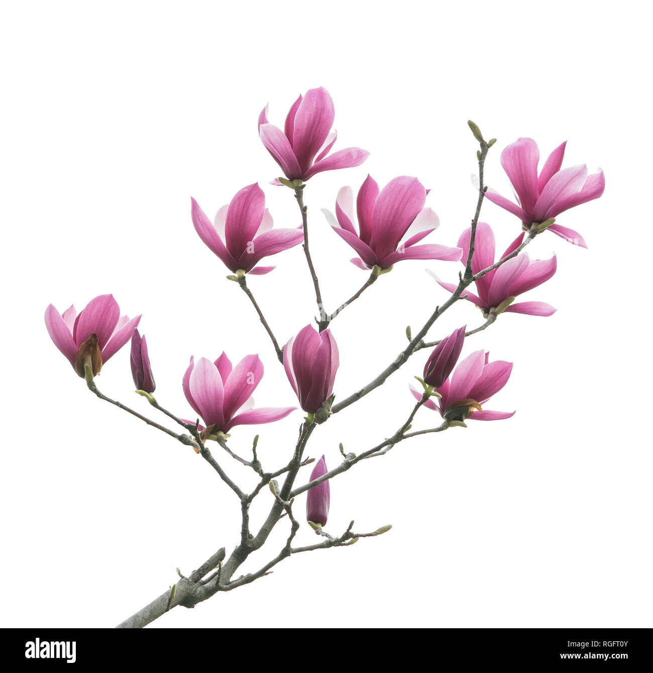 Magnolia Flower Branch Isolated On White Background Stock Photo