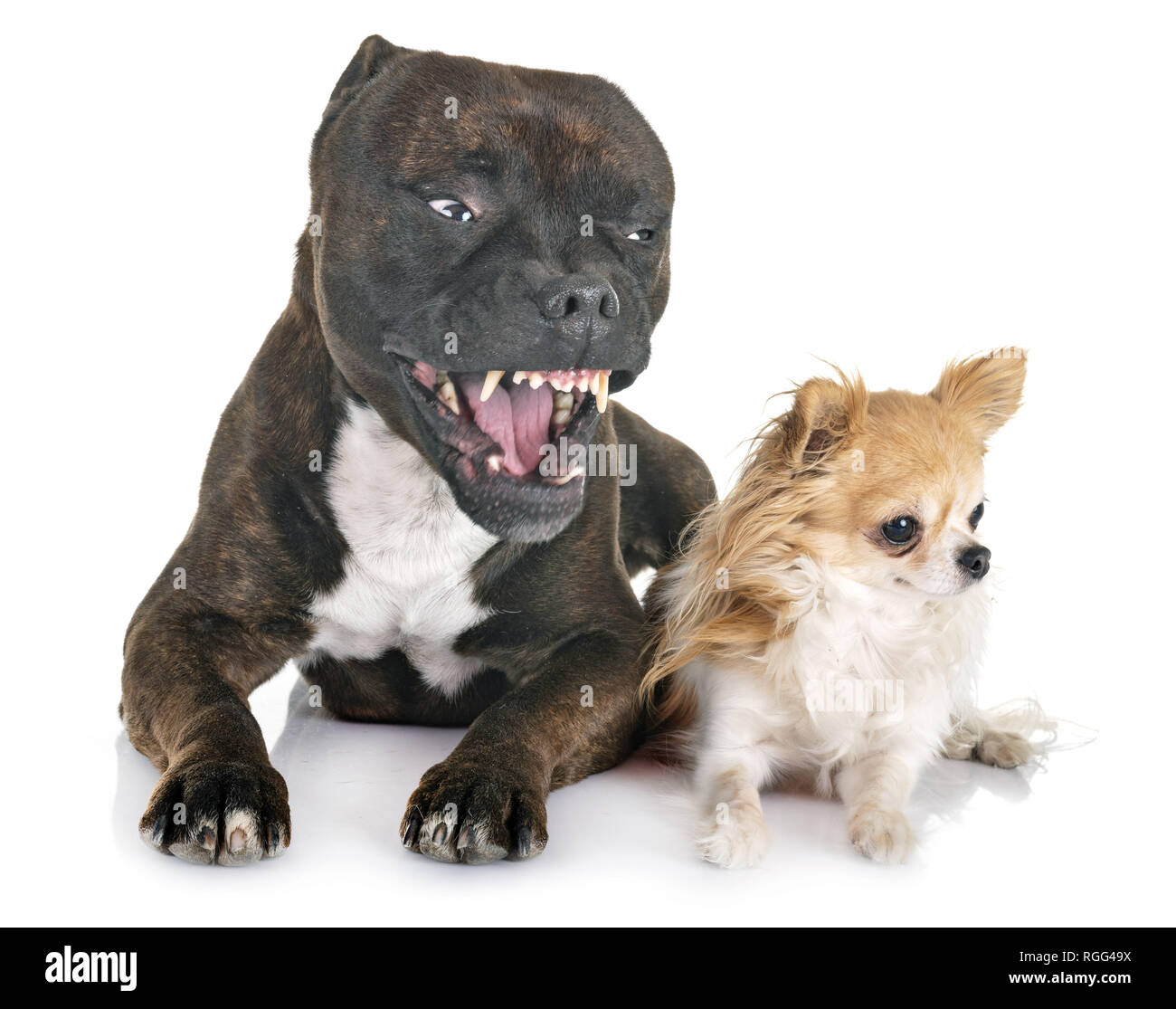 staffordshire bull terrier and chihuahua in front of white background - Stock Image