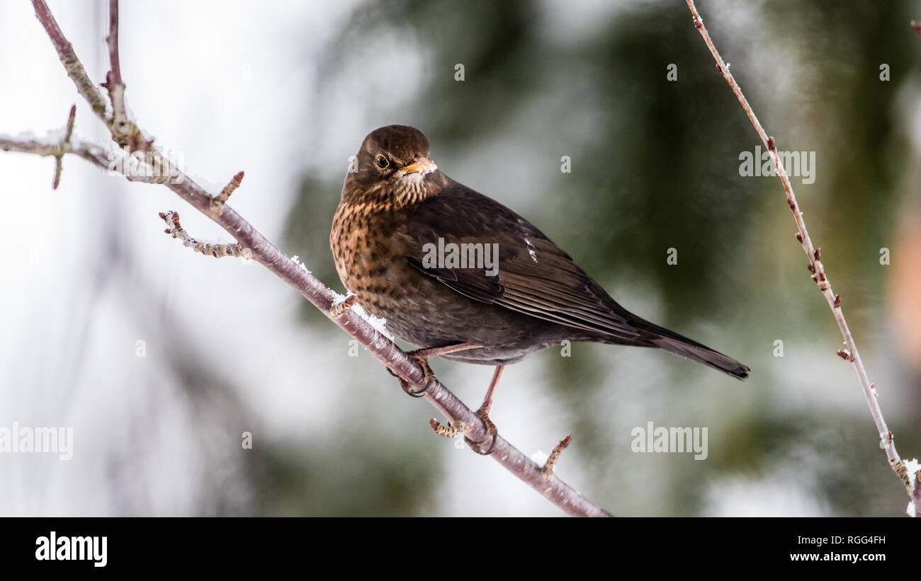 The female common blackbird (Turdus merula) is not black, she is brown but here with a beige and yellow beak and yellow eye-rings which normaly are da Stock Photo