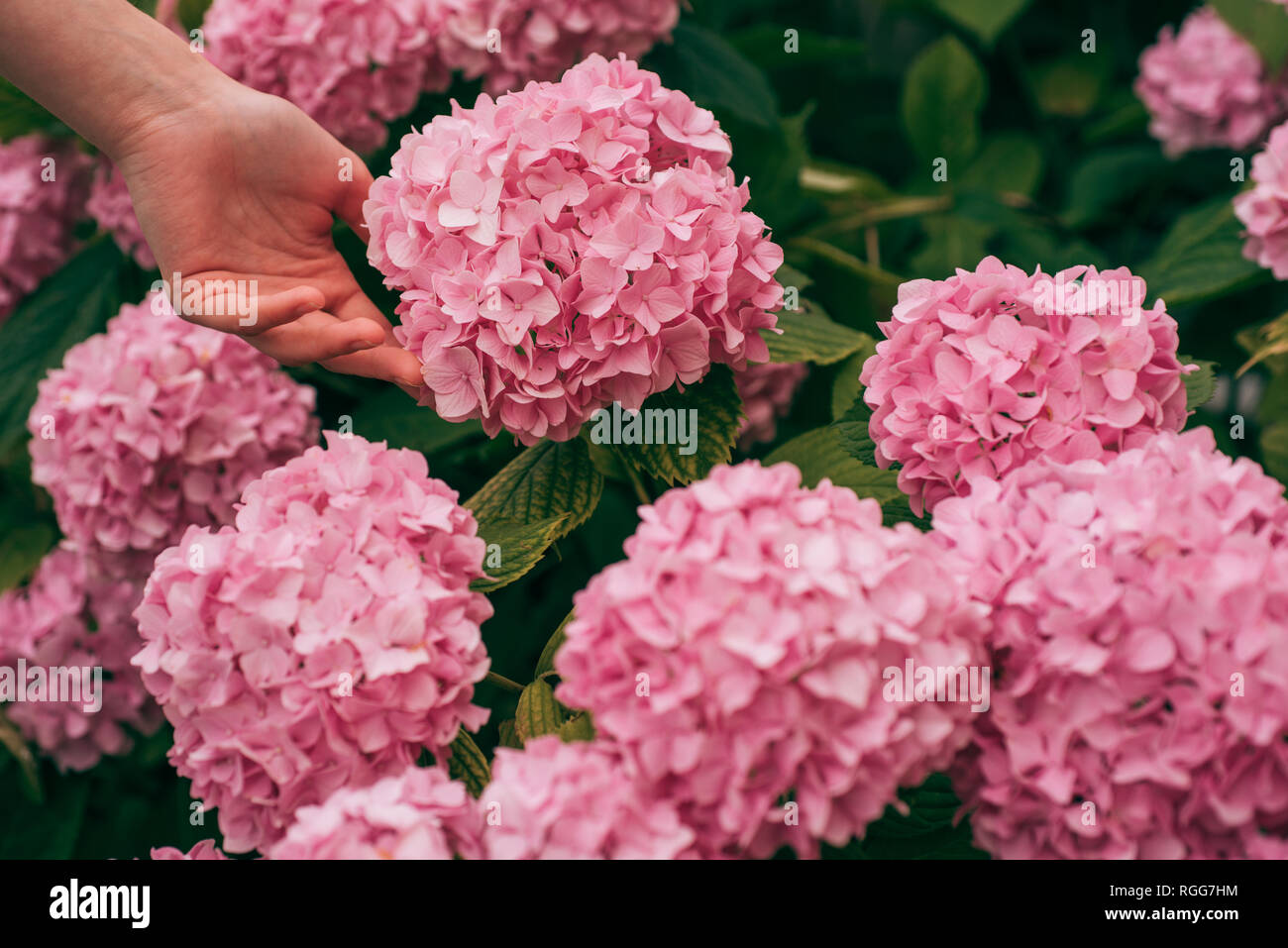 woman care of flowers in garden. gardener with flowers. hydrangea. Spring and summer. Flower care and watering. soils and fertilizers. Greenhouse - Stock Image