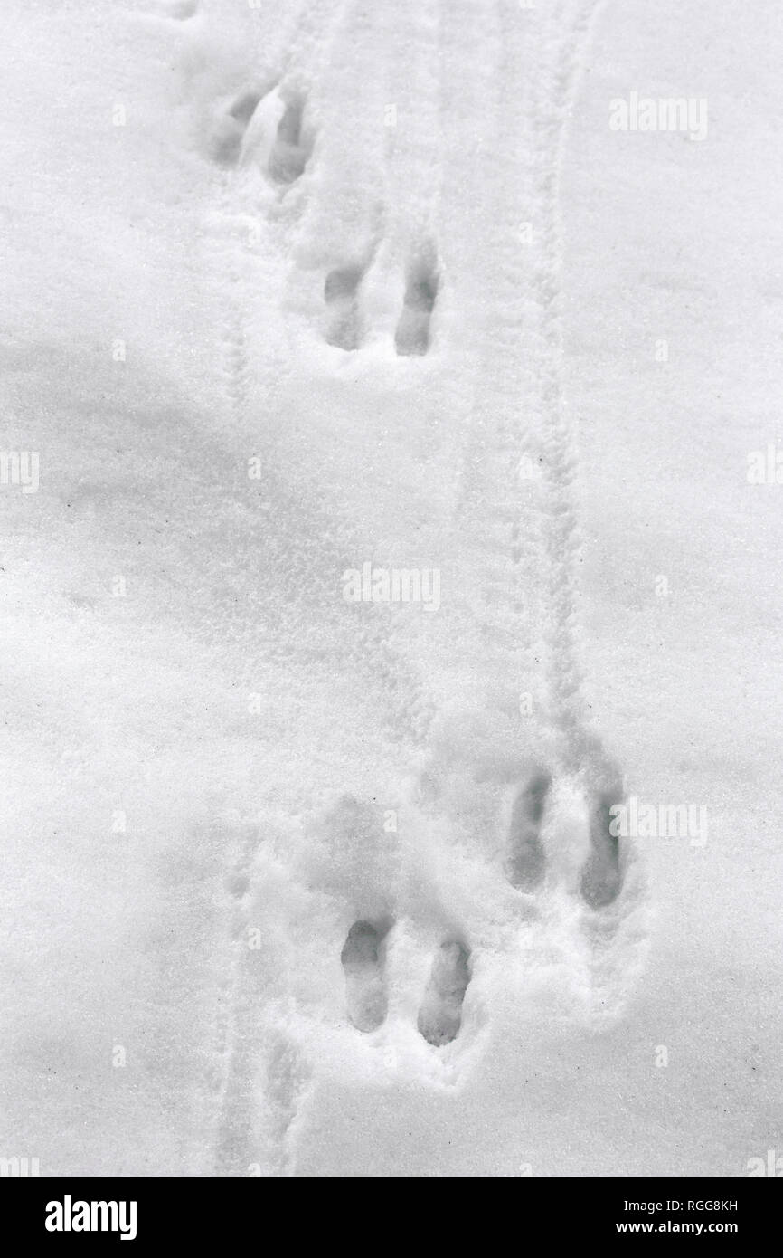 Chamois (Rupicapra rupicapra) close up of footprints in the snow in winter - Stock Image