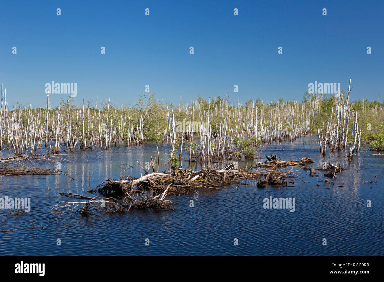 Dead birch trees in lake in nature reserve Totes Moor / Toten Moor, raised bog near Neustadt am Rübenberge, Niedersachsen / Lower Saxony, Germany - Stock Image