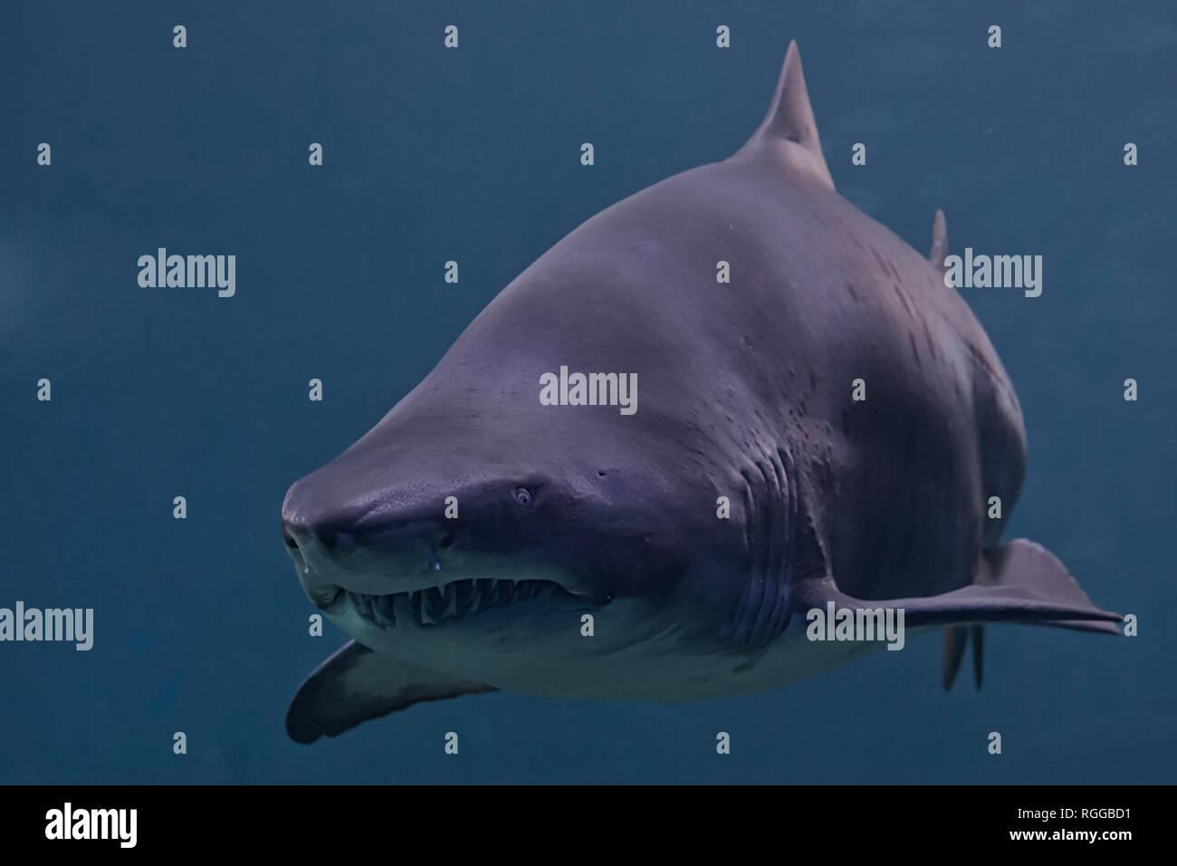 Menacing shark - Stock Image