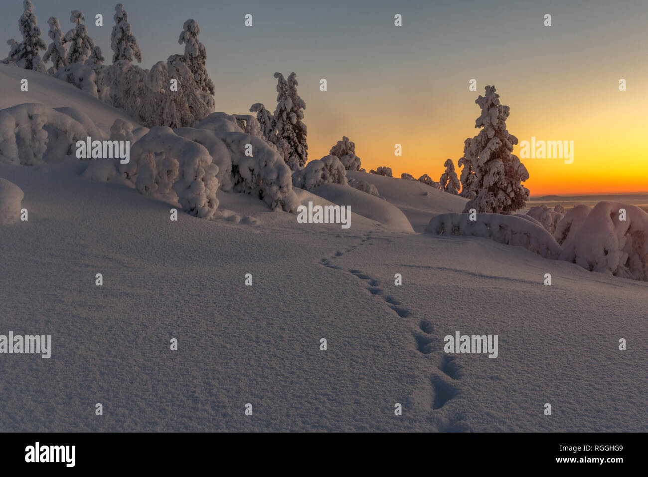 Winter landscape in direct light at sunset with nice color in the sky and snowy trees, animal tracks in foreground, Gällivare county, Swedish Lapland, - Stock Image