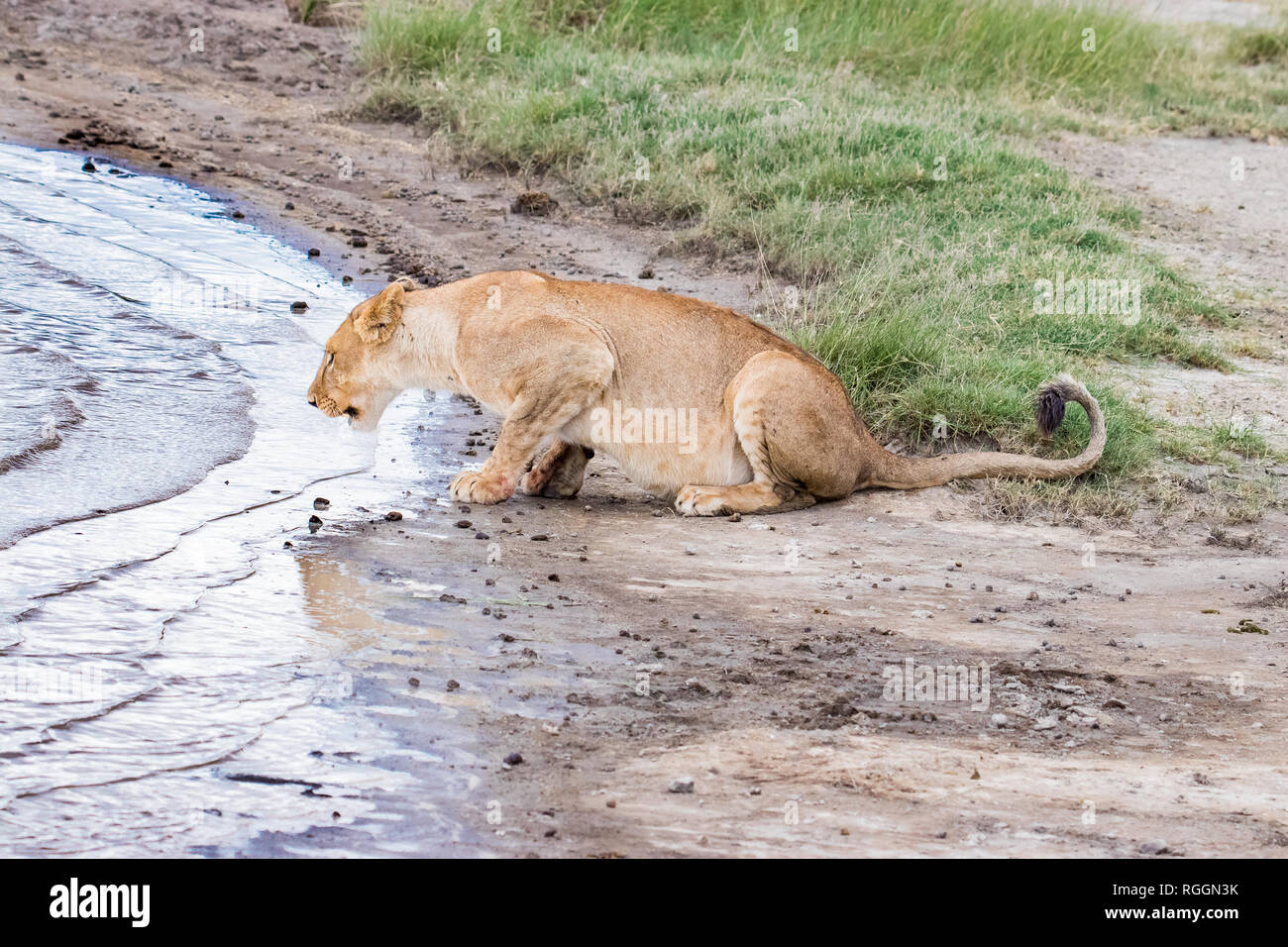 Lioness drinks water from the puddle - Stock Image