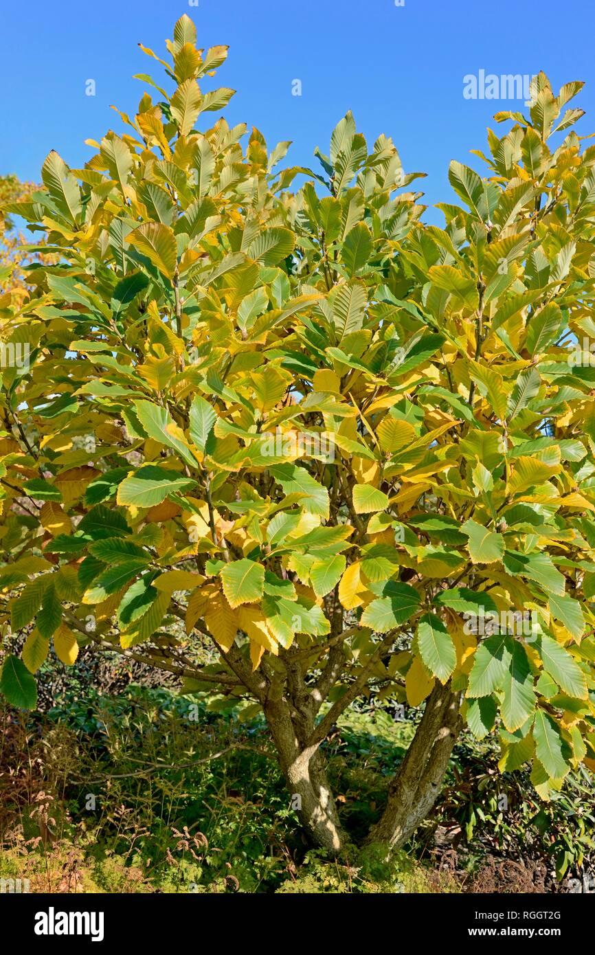 Pontine oak (Quercus pontica), , shrubby growth habit, autumn colours, North Rhine-Westphalia, Germany - Stock Image