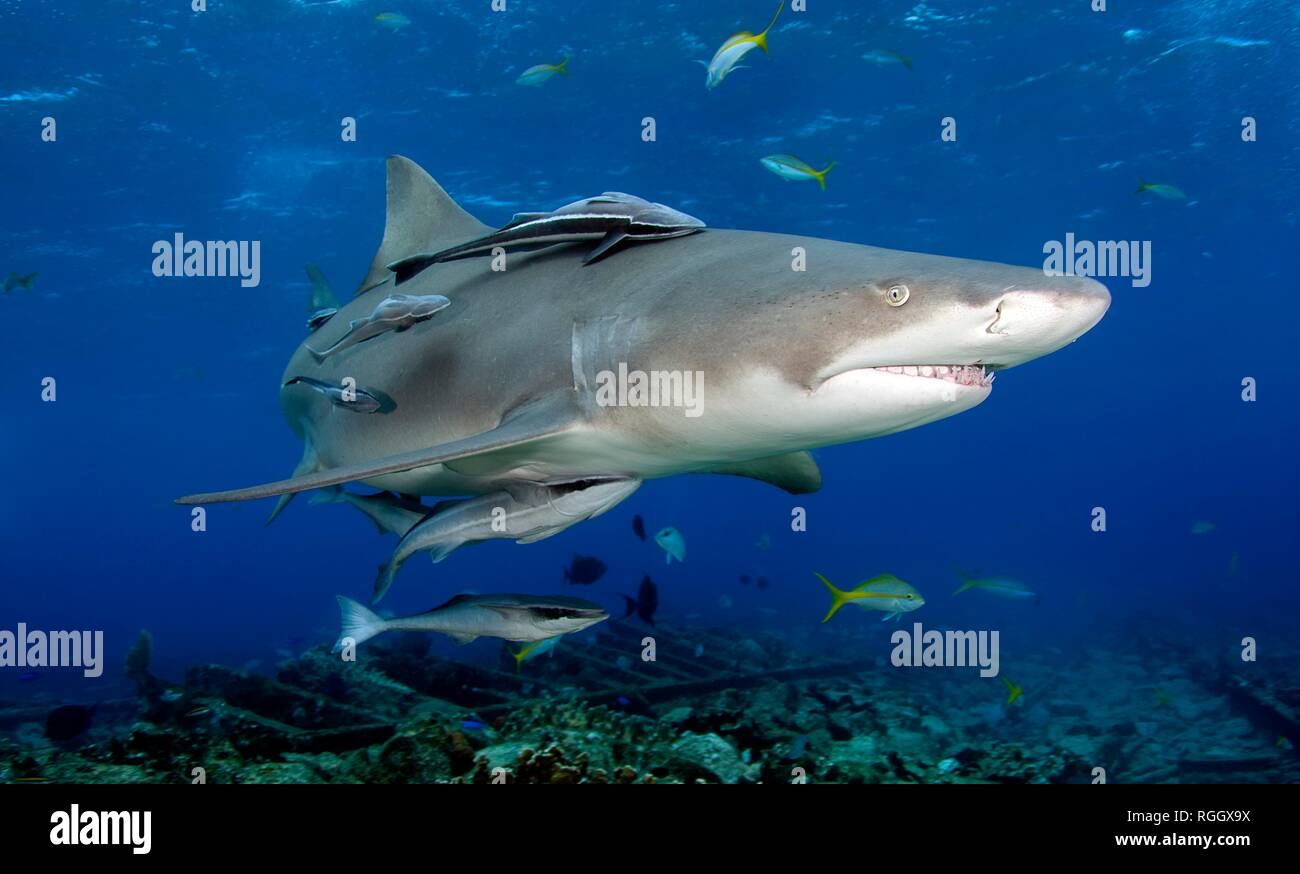 Echeneidae Stock Photos Amp Echeneidae Stock Images Alamy