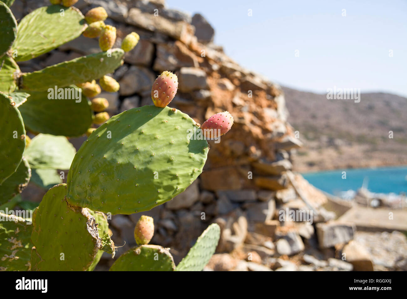 Edible cactus fruits. Opuntia edible, indian fig plant with spines and edible fruits. - Stock Image