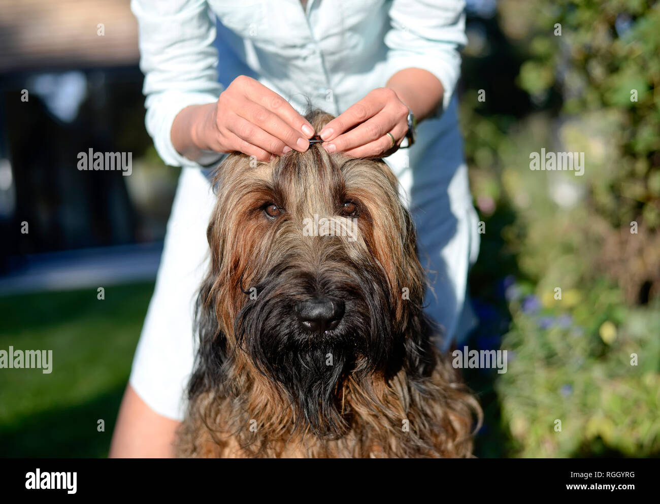 Woman's hands fixing hair clip on dog's head - Stock Image