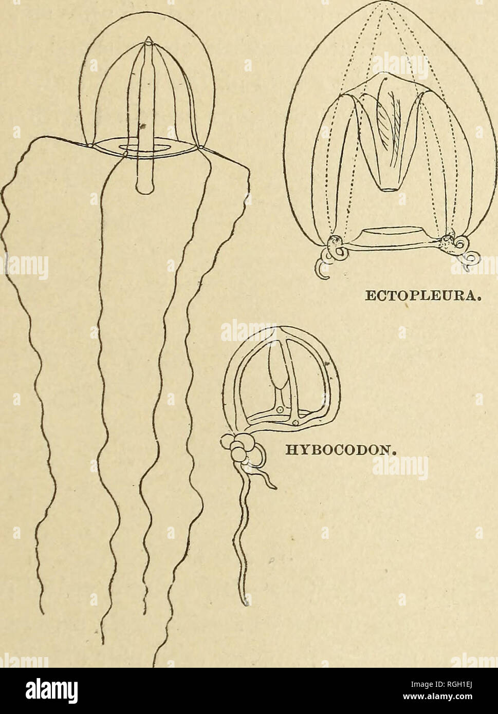 . Bulletin of the Essex Institute. Essex Institute; Natural history; genealogy. ECHINODERMATA OF NEW ENGLAND. 17 the bell. Lips flange-like, extending barely outside the bell-opening. 8. ajpicata, Dinematella. Bell ovate, with tall, conical, apical pro- jection in which is found a cavity shaped like the frus- trum of a cone, and which is in free communication with. SARSIA. that of the proboscis. Tubes four, with jagged edges, broad. Tentacles two, opposite, long, flexible. On the bell-rim between the long tentacles are situated small ten- tacular processes with pigment spots. Proboscis large,  Stock Photo