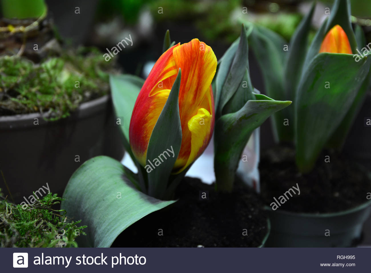 Tulipa 'Flair', single early tulips, March, April - Stock Image
