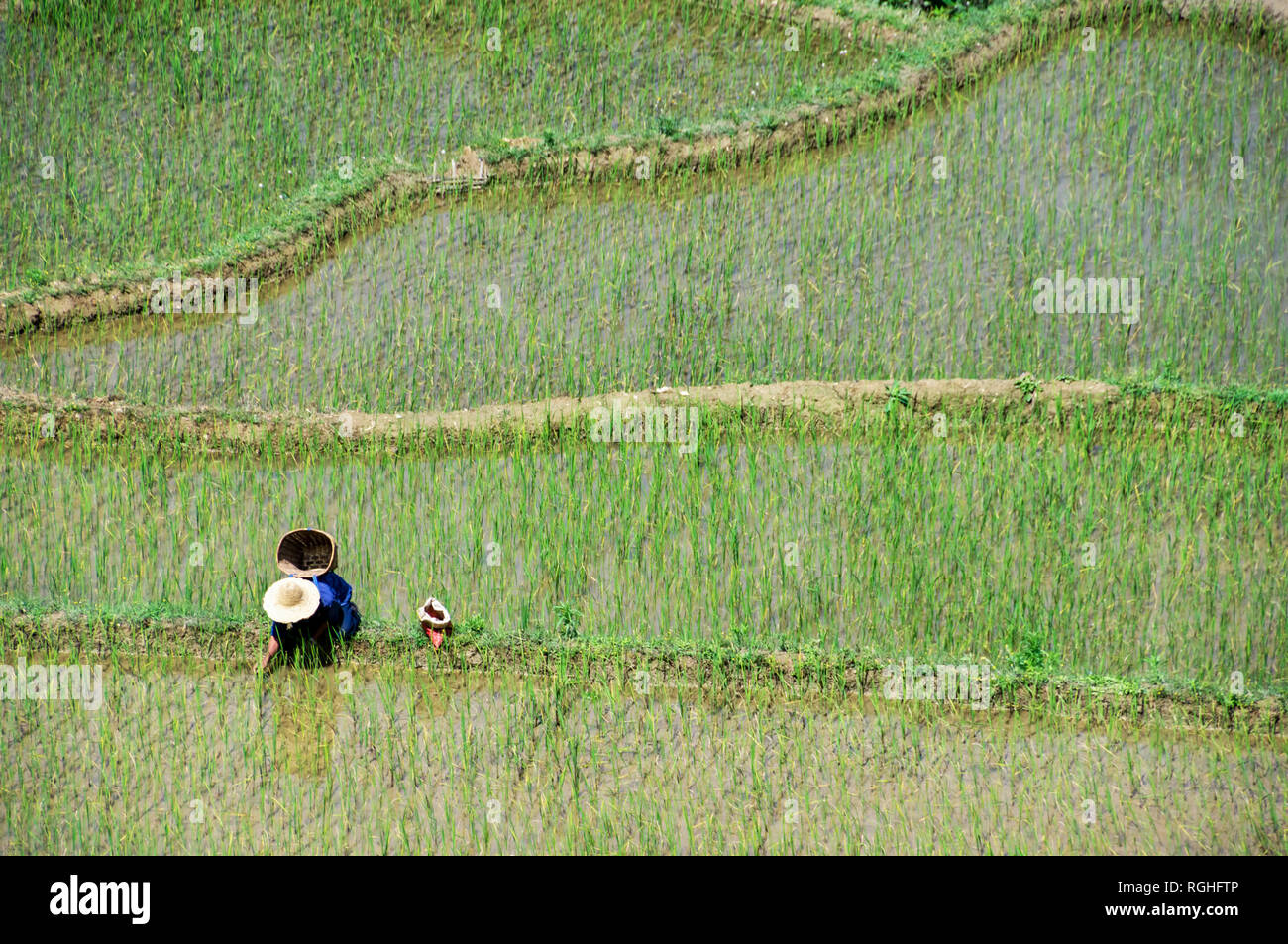 Rice Cultivation in Yuanyang Rice Terraces - Stock Image