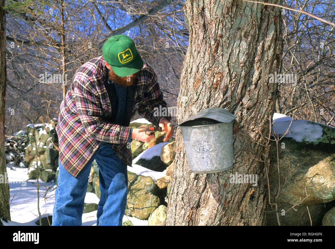 Tapping a tree for the Maple syrup season in Richmond, Rhode Island, USA - Stock Image